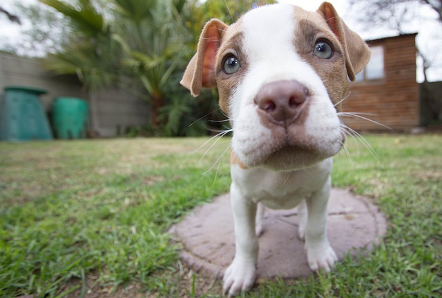 Puppy, Pitbull, Dog, Wide Angle, Pitt Bull, Pitt-bull