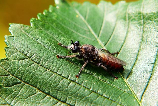 Wierzchołówka żółtowłosa, łowikowate, Muchówka, Insect