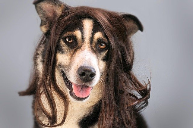 Dog, Hair, Wig, Hairstylist, Animal, Pet, Joke