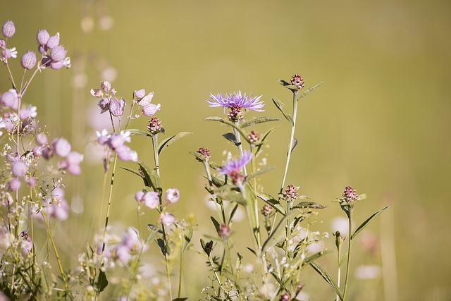 Forked Catchfly, Silene Dichotoma, Wigs Knapweed