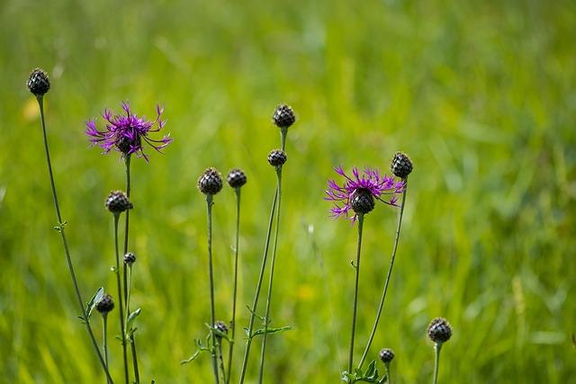 Wigs Malvaceae, Flowers, Wildflowers, Purple, Violet