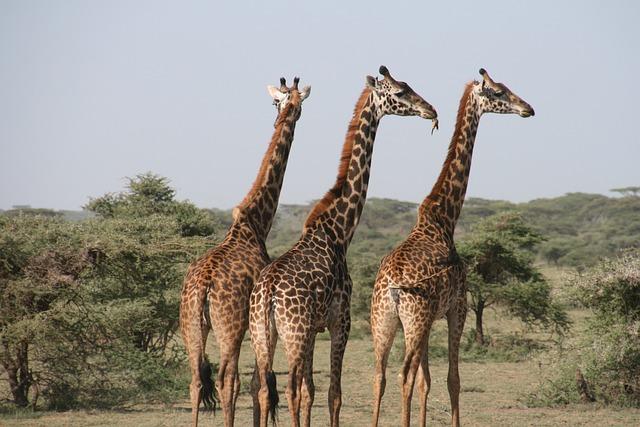 Giraffe, Africa, Tanzania, Wild, Savannah, Animal