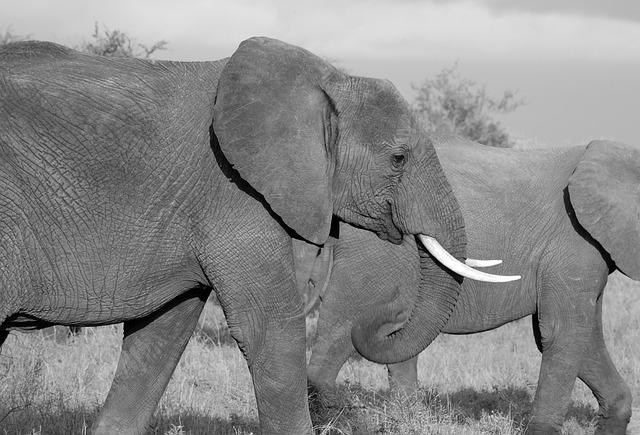 Elephant, Safari, Wild, Mammal, African, Trunk, Jungle