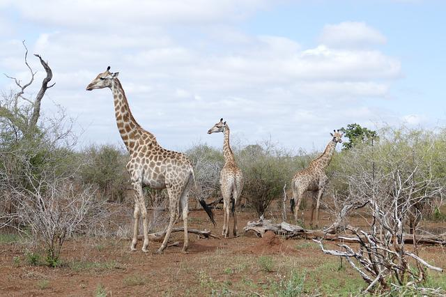 Wildlife, Giraffe, Animal, Wild, Kruger, African