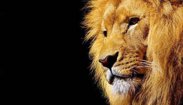 Lion, Wild Animal, Dangerous, Animal, Africa, Wildcat