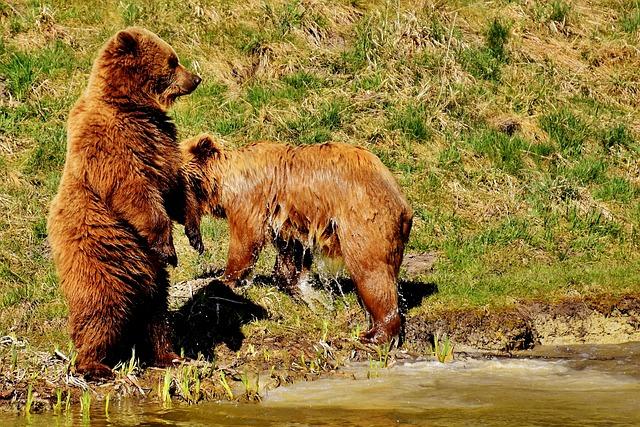 European Brown Bear, Play, Wild Animal, Bear, Dangerous
