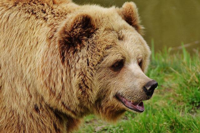 Bear, Wildpark Poing, Brown Bear, Wild Animal, Animal