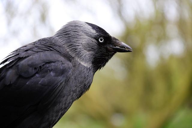 Jackdaw, Blackbird, Bird, Animal, Nature, Crow, Wild