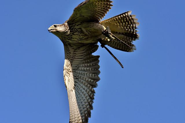 Falcon, Bird Of Prey, Bird, Wild Animal, Nature