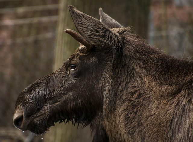 Moose, Head, Profile, Wild Animal, Mammal, Enclosure
