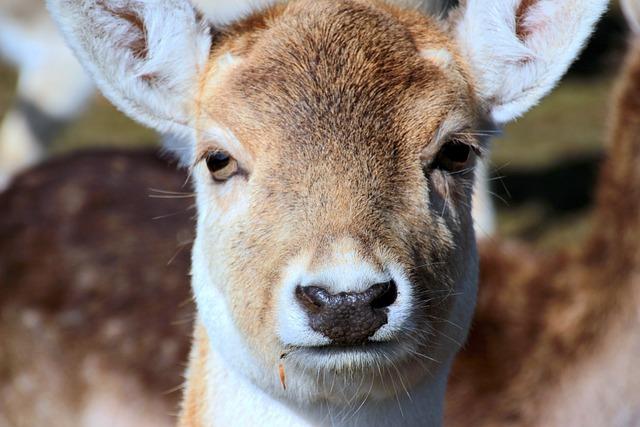 Damtier, Dama Dama, Wild Animal, Calf, Face