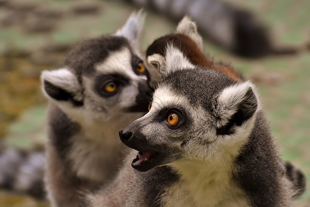 Lemur, Family, Cute, Ape, Animal, Wild Animal