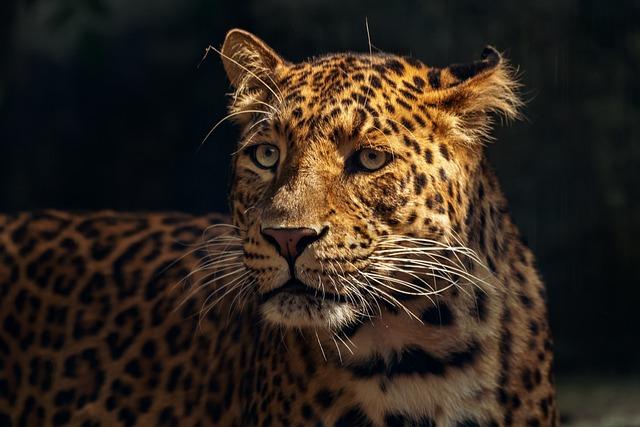 Zoo, Feline, Tawny, Animal, Nature, Wild, Jaguar