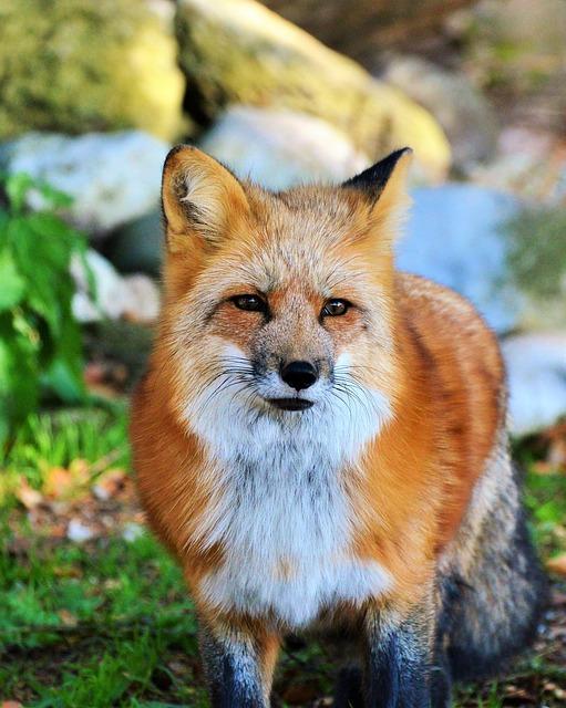 Fuchs, Red Fox, Predator, Reddish Fur, Fur, Wild Animal