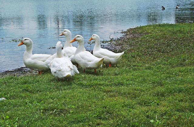 Lake Mingo Ducks, Ducks, Kentucky, Birds, Animal, Wild