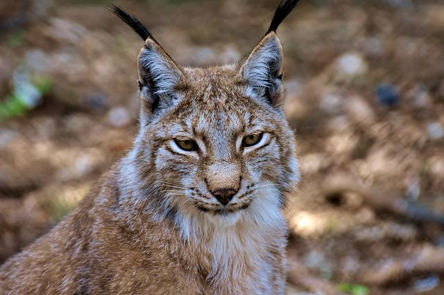 Lynx, Wild Animal, Wildcat, Carnivores, Animal World