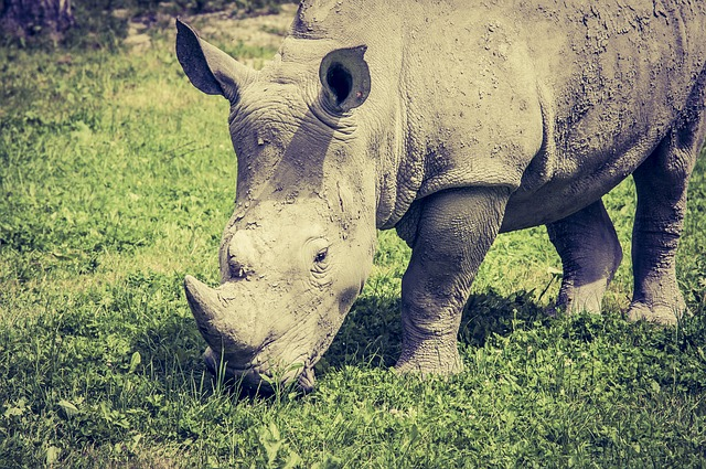 Rhino, Eat, Grass, Wild Animal, Animals, Africa