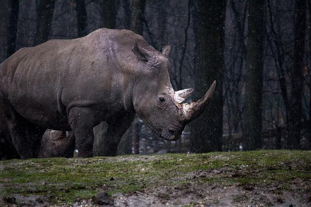 Animal, Forest, Nature, Rhino, Rhinoceros, Wild Animal