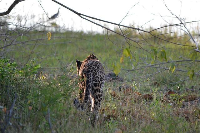Leopard, Sri Lanka, Wildlife, Nature, Animal, Wild