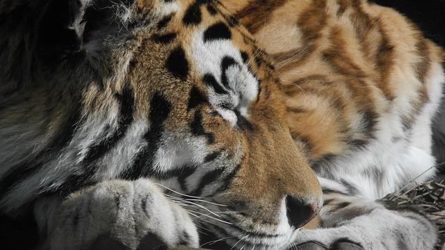 Cat, Tired, Zoo, Stripes, Tiger, Paw, Wild Animal