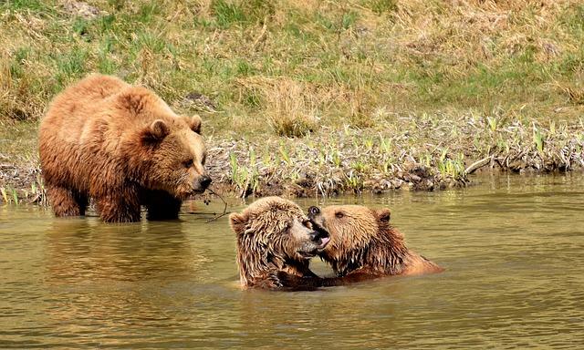 European Brown Bear, Water, Play, Wild Animal, Bear