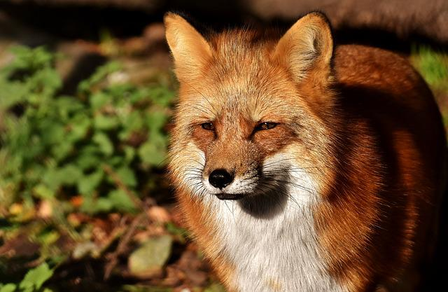 Fuchs, Animal World, Wild Animal, Wildlife Photography
