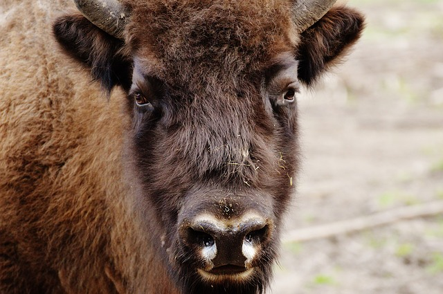 Bison, Wildpark Poing, Wild Animal, Animal World