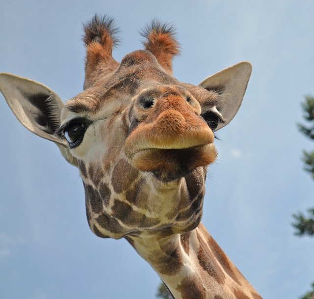 Giraffe, Zoo, Animals, Wild Animal, Close