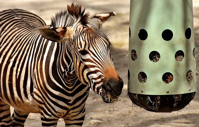 Zebra, Wild Animal, Eat, Feeding, Zoo, Africa, Animal