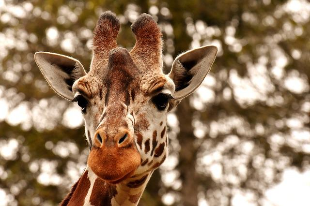 Giraffe, Zoo, Animal, Animal Portrait, Wild Animal