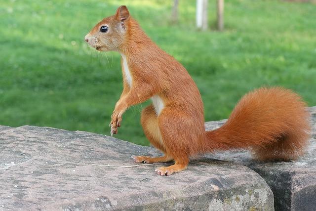 Squirrel, Animals, Wild Animals, Rodent, Nature