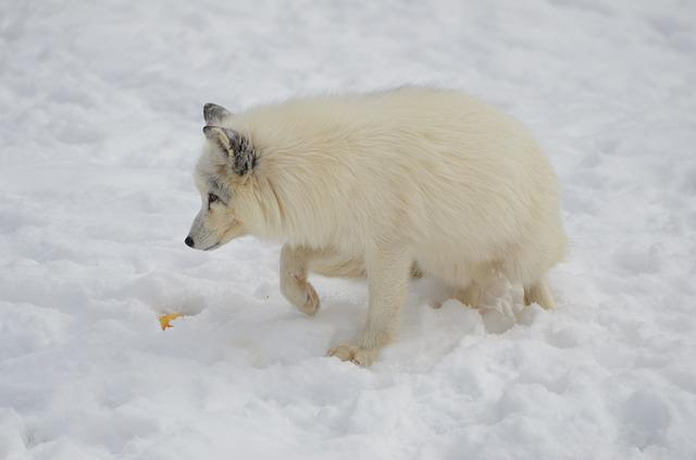 Arctic, Fox, Animal, Mammal, Wild, Wilderness, Winter