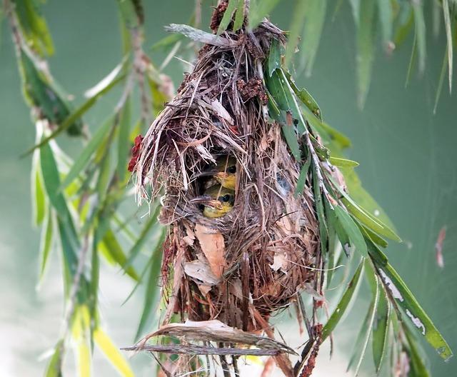Baby Olive-back Sunbird Nest, Wild, Bird, Wildlife