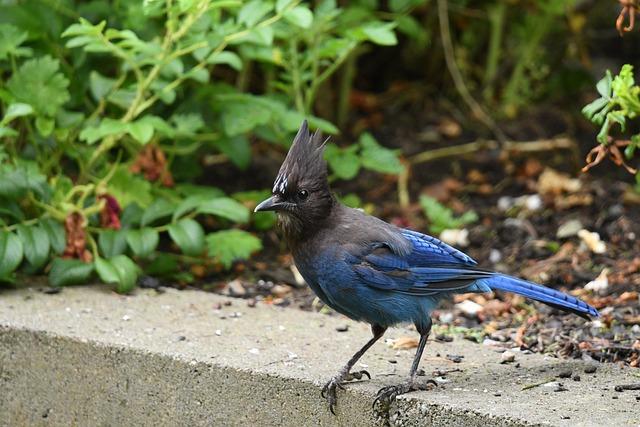 Blue, Jay, Bird, Wild