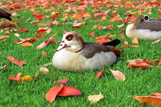 Nilgans, Duck, Water Bird, Fall Foliage, Wild Bird