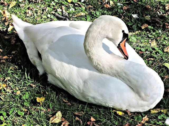 Swan, Wild Bird, Resting, River Side, Nature, Outdoors