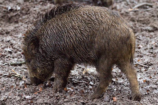 Wild Boars, Animals, Wild, Forest