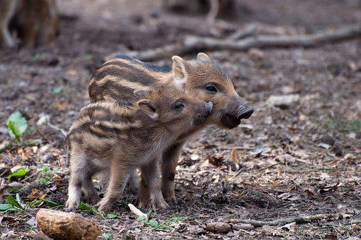Little Pig, Wild Boars, Spring, Wild, Wild Boar, Sow