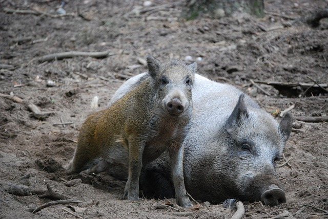 Wild Boars, Mother And Child, Bache, Launchy