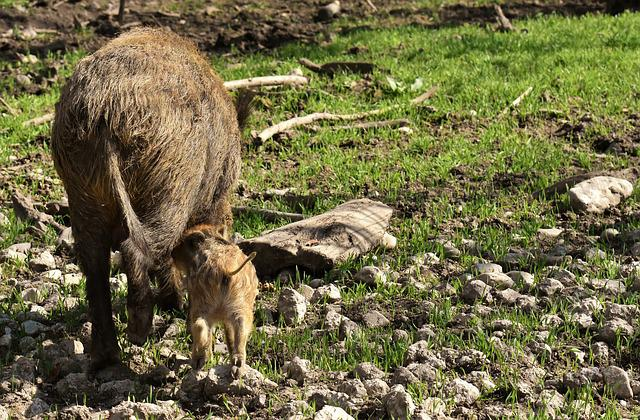Wild Boars, Small Pigs, Mini, Cute, Sweet, Funny, Play