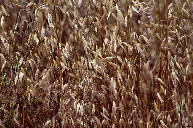 Grass, Dry, Wild, Weed, Wild Oats, Brown, Background