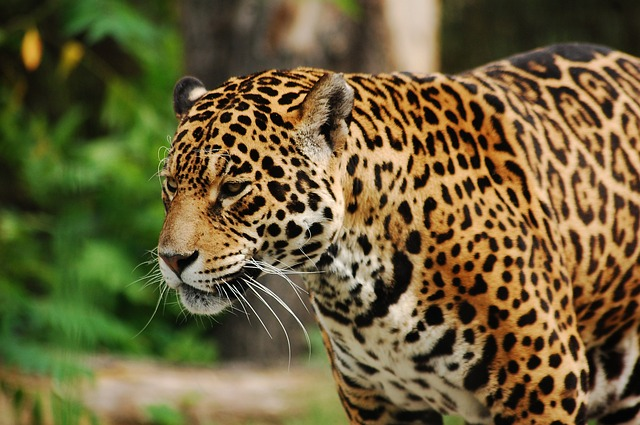 Wild, Cat, Feral Cat, Panther, Big Cat, Zoo, Animal