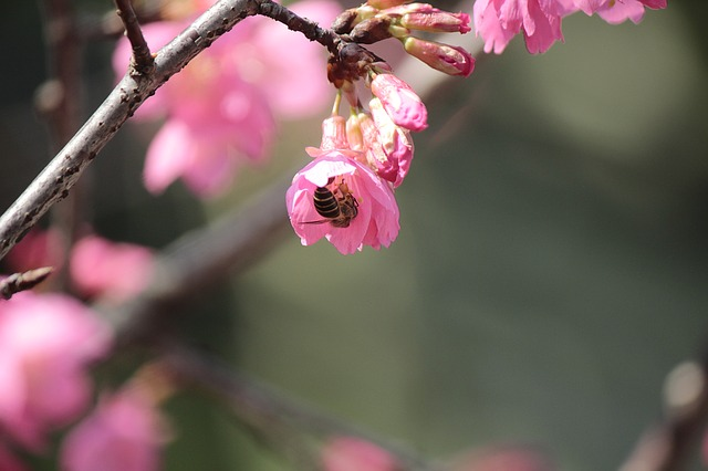 Wild Cherry Petals, Hua Xie, Bees Gather Nectar