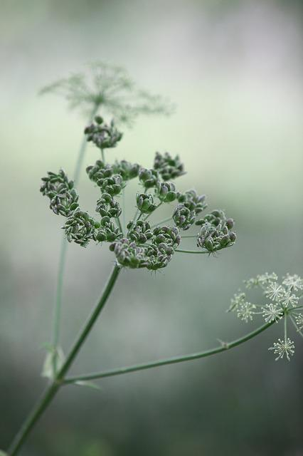 Cow Parsley, Wild Chervil, Wild Beaked Parsley, Keck