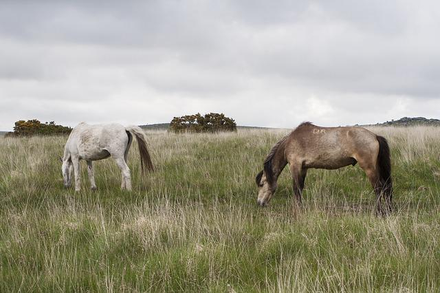 Dartmoor, Pony, Horse, Devon, Wild, England, Brown