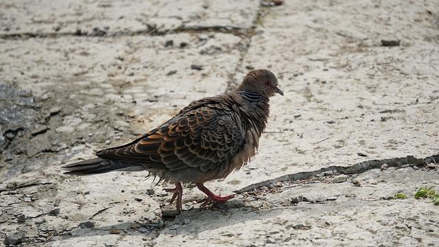 Wild Dove, Pigeon, Park, New