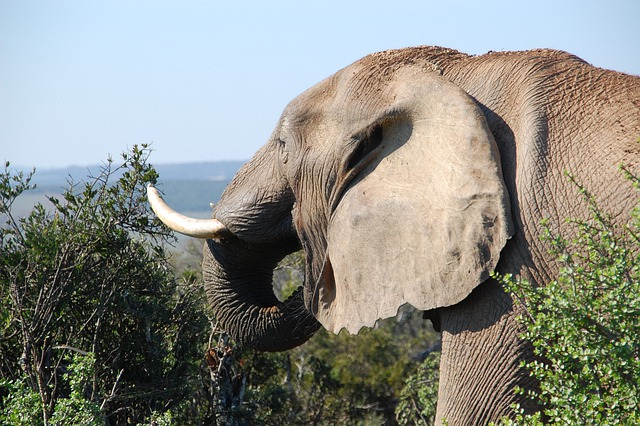 South Africa, Wild, Nature, Wildlife, Animals, Elephant