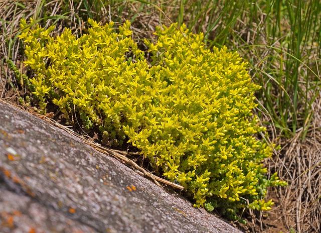 Stonecrop, Saxifrage, Wild Flower, Blossom, Bloom