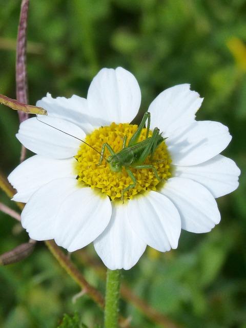 Green Grasshopper, Daisy, Wild Flower, Orthopteron