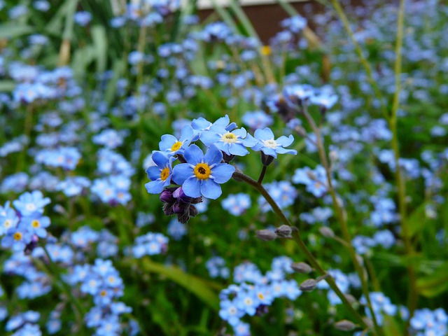 Forget Me Not, Flower, Meadow, Wild Flower, Blossom